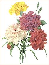 Carnations_redoute